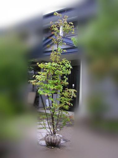 Oteire yamaboushi leaf 1